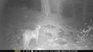 Hungry Cougar searches Adonian Mountains of Colorado
