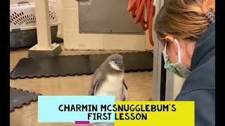 Fish Eating Lessons for a Penguin Chick