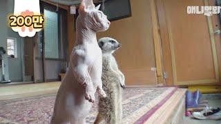 오른쪽은 진짜 미어캣 왼쪽은 미어CatㅋㅋㅣRight Is A Real Meerkat And The Left Is A Real Cat