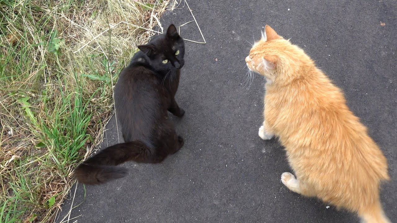 Ginger cat and black cat