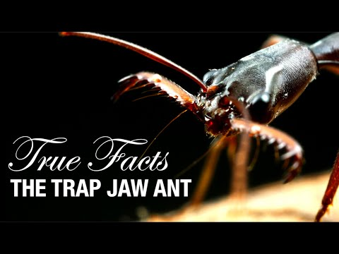 Funny Video: True Facts About Trap Jaw Ants