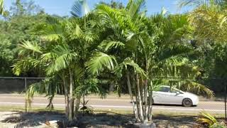 Areca Pembana Palm/Great for Privacy