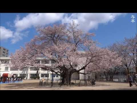 桜・東六番丁小学校 (宮城県仙台市)
