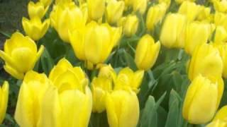 preview picture of video 'Piękne ogrody - Ogród Botaniczny w Łodzi - tulipany'