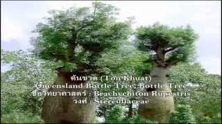 Bottle Tree - ต้นขวด