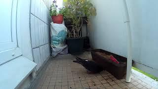 Голуби свили гнездо на балконе listen mp3 & watch video eeve.