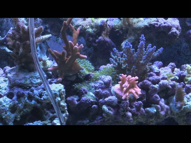 4 Ways to Remove Bubble Algae From Your Reef Tank