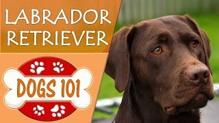Dogs 101 - LABRADOR RETRIEVER - Top Dog Facts About LAB Breeds