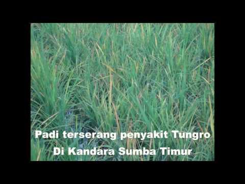 Video Siaran Hama Tungro
