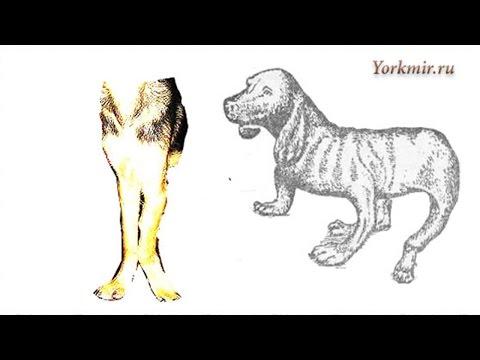 Рахит у собак | Причины | Симптомы | Лечение.