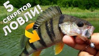 Как ловить окуня на реках сибири