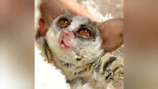 A Very Cute Bush Baby Gray Mouse Lemur | RELAX With Nature