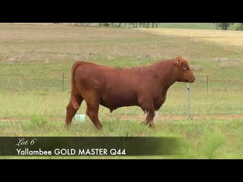 YALLAMBEE GOLD MASTER Q44 (AI) (AMF) (MAF) (NHF) (OSF) YRAQ44