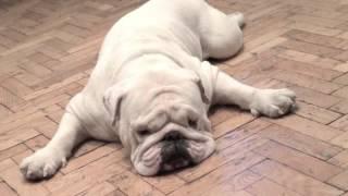 Памяти лучшей собаке в мире! Английский бульдог - Шенберг (Шони)