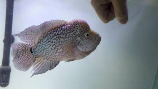 Hmoob Moua - super red monkey flowerhorn cichlids | www hello4videos
