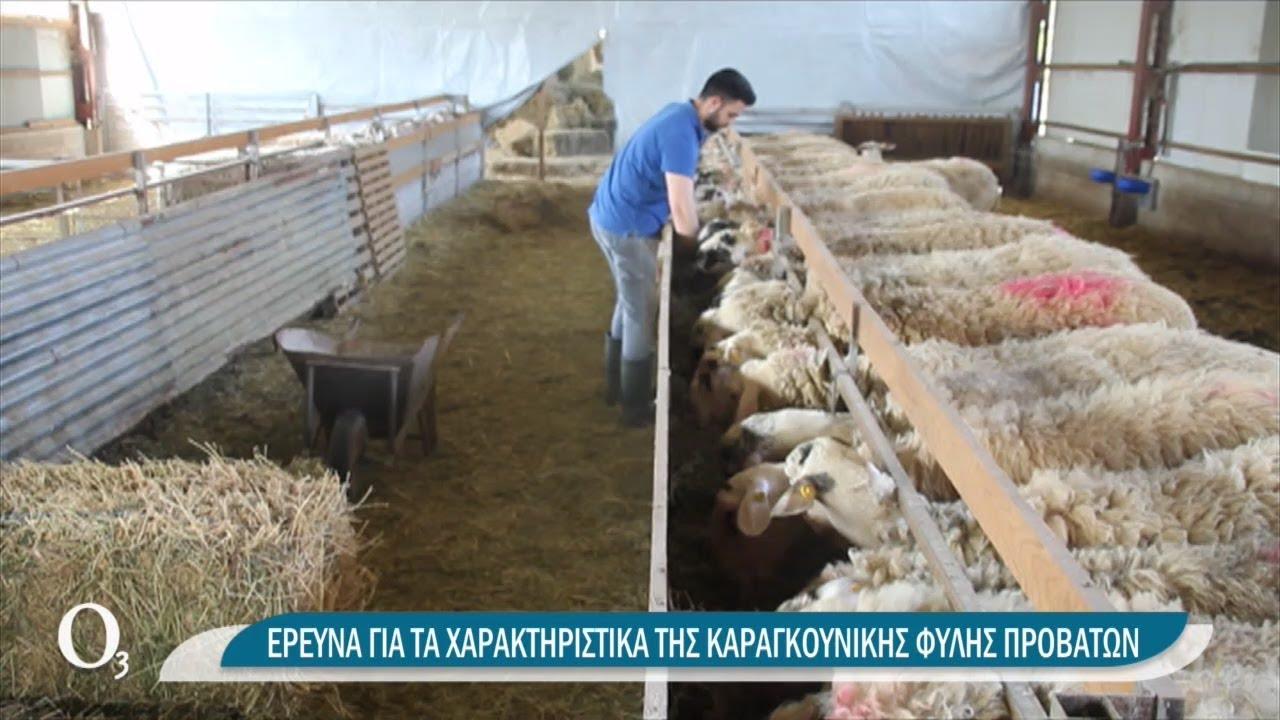 Σε τι υπερέχει το καραγκούνικο πρόβατο | 09/04/2021 | ΕΡΤ