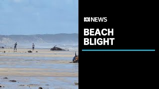 Carcasses from Australia's worst mass whale stranding affect West Coast tourism | ABC News