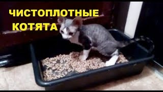 Чистоплотные котята девон-рекс