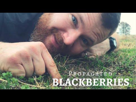 Update! Blackberry Propagation