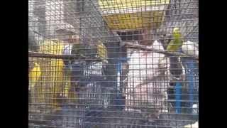 preview picture of video 'KOLKATA, GALIFF STREET BIRD MARKET'