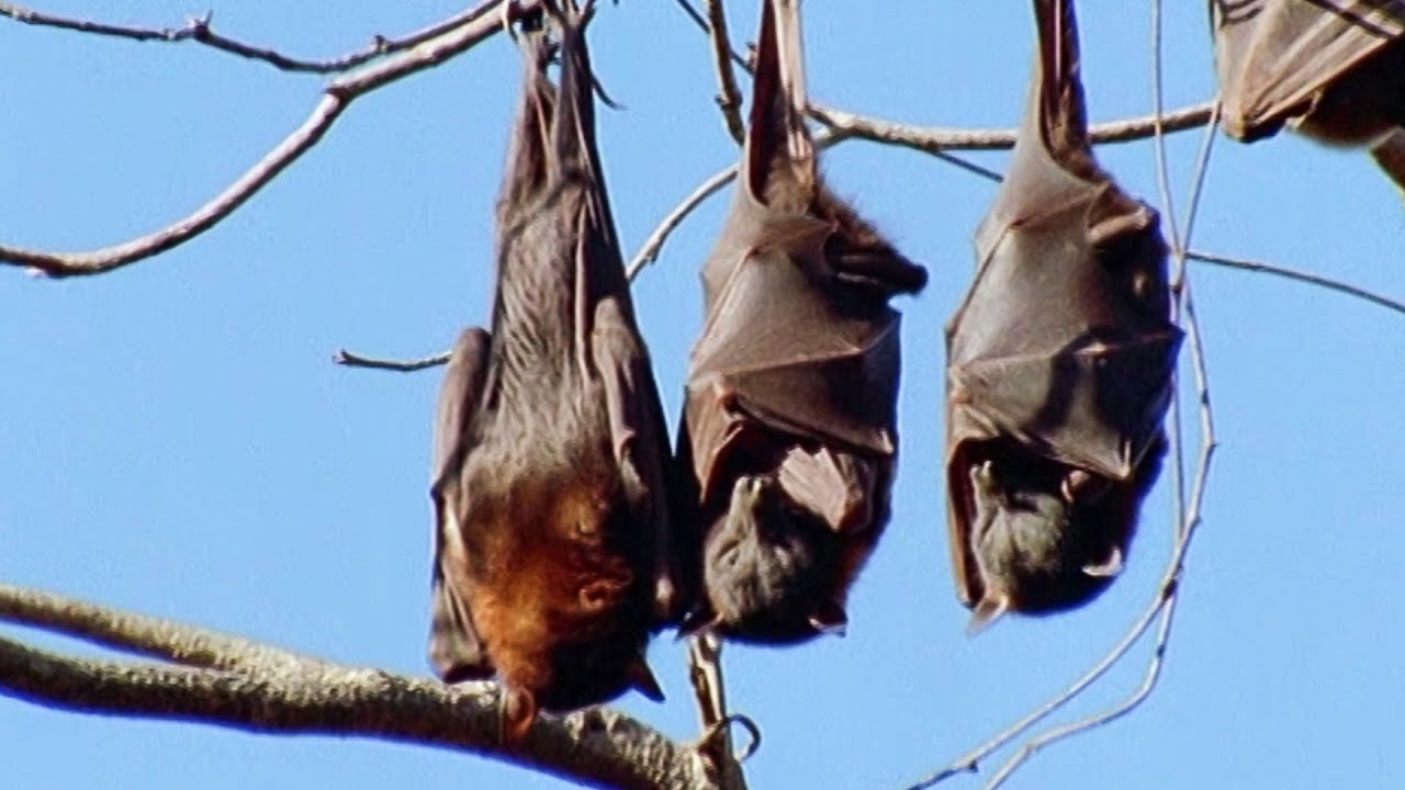 Bats Come Up With An Ingenious Film Idea Walk On The Wild Side BBC Earth