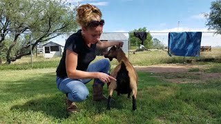 ADGA Scorecard - Know the Quality of Your Goats and Improve Your Breedings