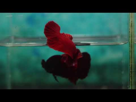 SUPPER RED OHMPK 03 bettas by Powerful