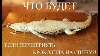 Смотреть онлайн Как ведет себя крокодил, если его перевернуть на спину