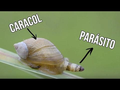 A parazita bejutott az agyba