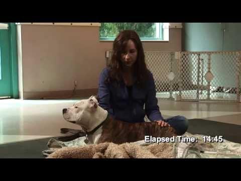Rescued Pitbull Leads Animal Reiki Treatment Video | Animal Reiki ...