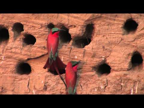 Carmine Bee-Eater Hide