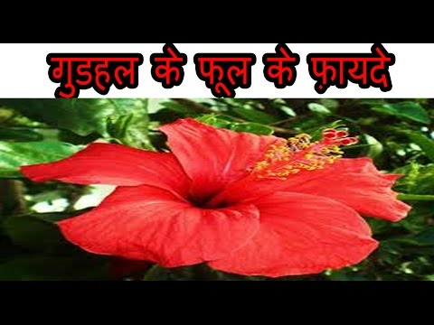 Video गुडहल के फूल के फ़ायदे | Benefits Of Hibiscus Flower for weight loss, Heart, hair and skin
