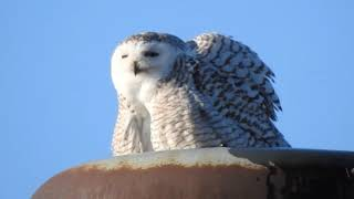 SNOWY OWL ON TOP OF GRAIN BIN IN THE MORNING SUN