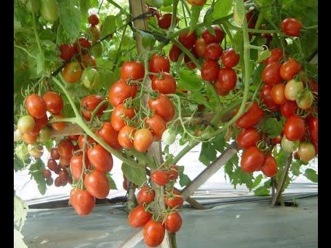 Video Cara Budidaya Tanaman Tomat yang baik panen melimpah tanpa musim 081225244539 PIN: D3136965