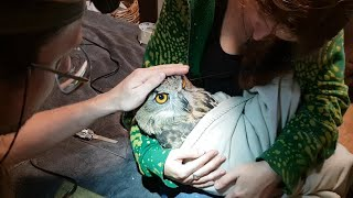 How many zoologists do we need to saw down Yolka? Trimming of the Eagle Owl's beak