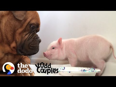 The Huge Dog and the Tiny Piglet