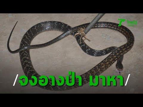 สาวใหญ่สะดุ้งโหยง จงอางป่าพันธุ์หายาก มาเยี่ยมถึงห้องนอน | Thairath Online