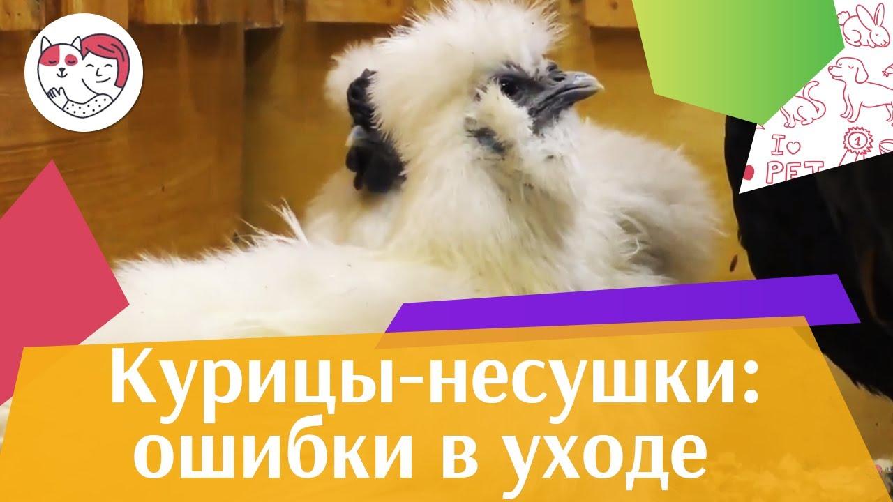 4 самые распространенные ошибки при уходе за курицами-несушками на ilikepet