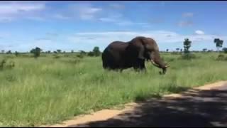 animale elefantul ataca
