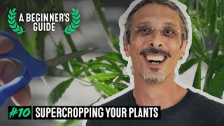 Maximize Cannabis Yields with Supercropping - A Beginner's Guide with Kyle Kushman