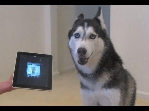 Chú chó Husky hát còn hay hơn cả Bieber