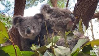 Koala Joey Mulu Mulu with mum Mia | Perth Zoo