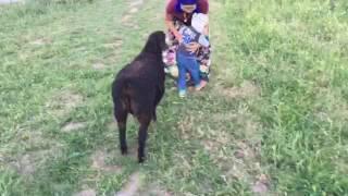 Собачка защищает ребёнка от барана.