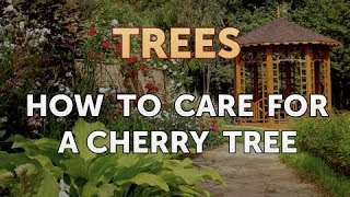 How to Care for a Cherry Tree