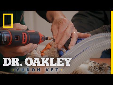 A Snappy Owl Gets a Nail Trim | Dr. Oakley: Yukon Vet