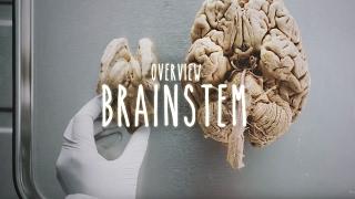 Overview of the Brainstem - UBC Neuroanatomy - Season 1 - Ep 3