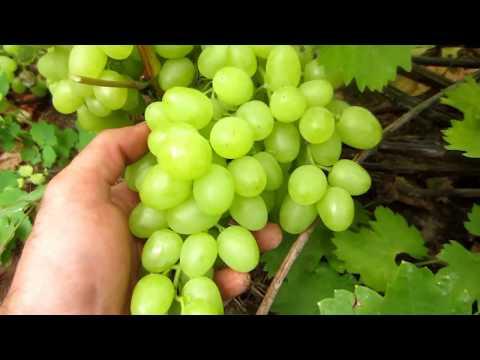 Виноград сорт Аркадия. Северо-восток Белоруссии. Пора снимать урожай столового винограда.