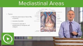 Mediastinal Areas – Anatomy | Lecturio