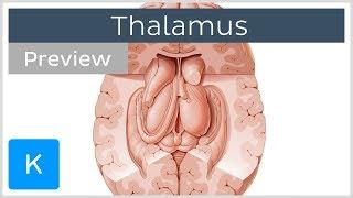 Thalamus: Structure and function (preview) - Human Neuroanatomy | Kenhub