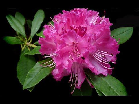Rododendro: qualche informazione utile